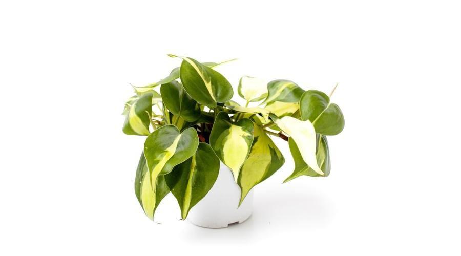 Futó szobanövények nagy választékban